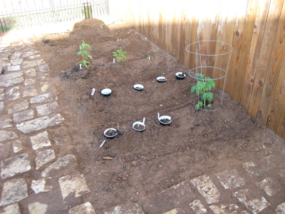 Tomato plants & sweet pepper plants pictures