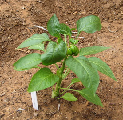Baby bell pepper plant pictures