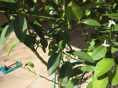 How to grow lime trees.