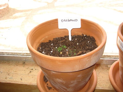 How to grow Oregano at home.